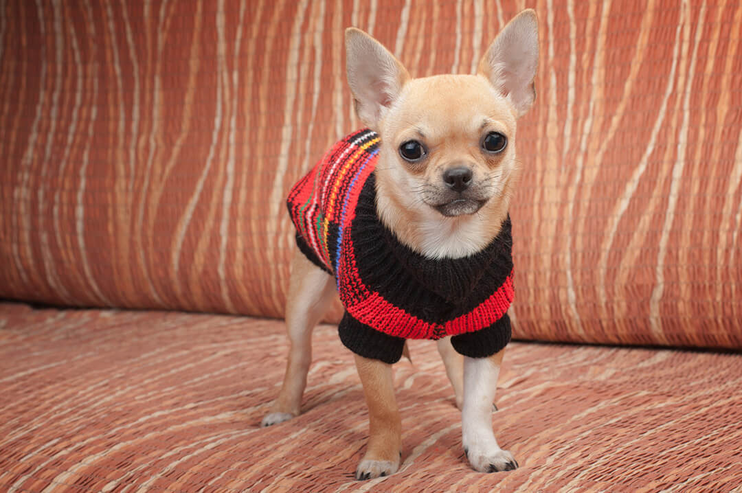チワワ | 犬種図鑑 | Fanimal(ファニマル)