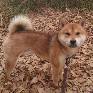 犬猫生態図鑑 柴犬2 | Fanimal(ファニマル)