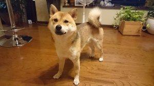 犬猫生態図鑑 柴犬3 | Fanimal(ファニマル)
