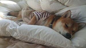 犬猫生態図鑑 柴犬9 | Fanimal(ファニマル)