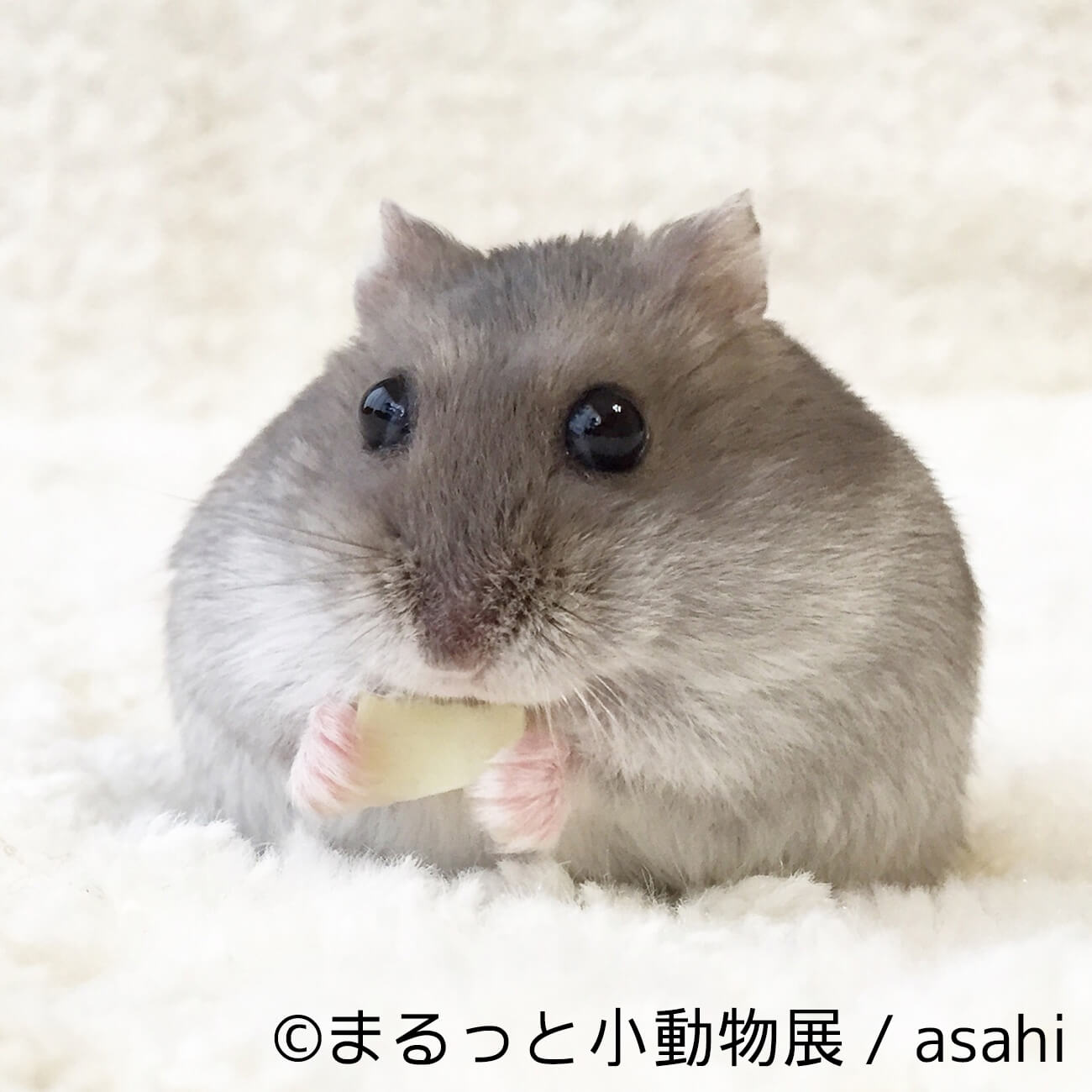 asahi | まるっと小動物展 | Fanimal(ファニマル)