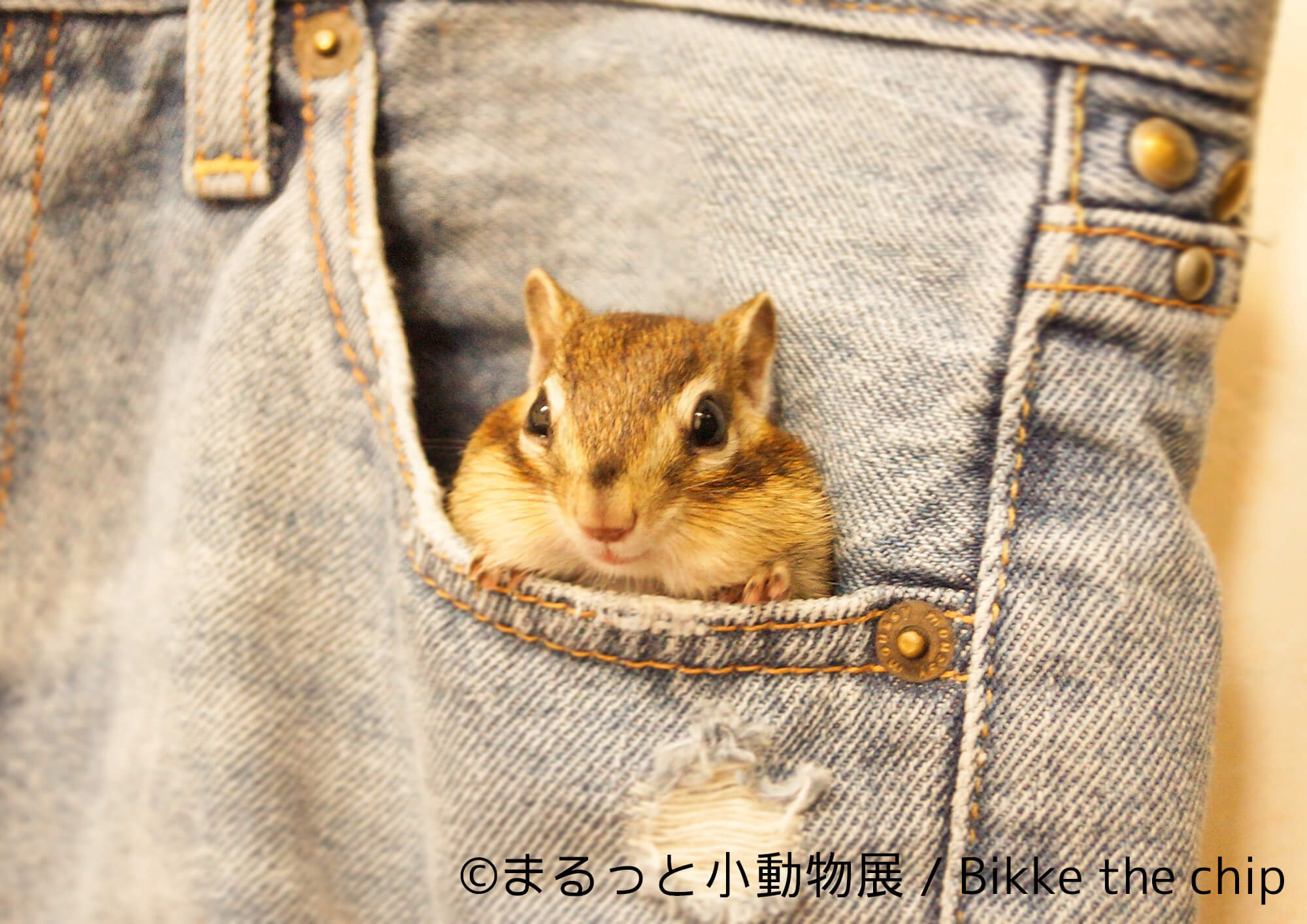 Bikke the chip | まるっと小動物展 | Fanimal(ファニマル)