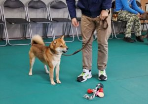 柴犬らいのドッグスクール体験記 | Fanimal(ファニマル)