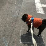 黒パグとお散歩
