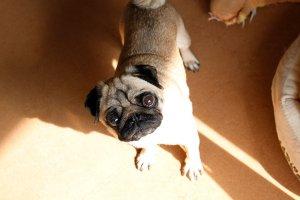 飼い主は見た!犬猫生態図鑑フォーンパグ1 | Fanimal(ファニマル)