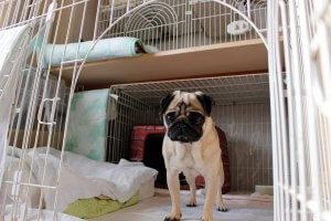 飼い主は見た!犬猫生態図鑑フォーンパグ2 | Fanimal(ファニマル)