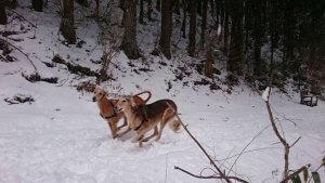 飼い主は見た!犬猫生態図鑑 サルーキ前編3 | Fanimal(ファニマル)