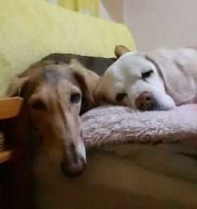 飼い主は見た!犬猫生態図鑑 サルーキ後編2 | Fanimal(ファニマル)