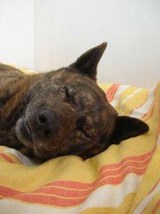 飼い主は見た!犬猫生態図鑑 甲斐犬4 | Fanimal(ファニマル)