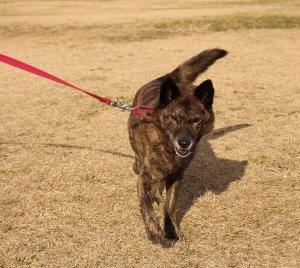 飼い主は見た!犬猫生態図鑑 甲斐犬1 | Fanimal(ファニマル)