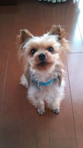 犬猫生態図鑑 ヨークシャーテリア 2 | Fanimal(ファニマル)