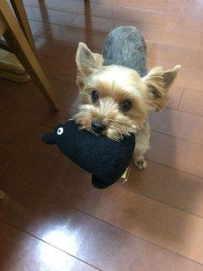 犬猫生態図鑑 ヨークシャーテリア 1 | Fanimal(ファニマル)
