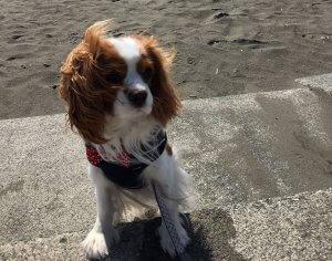 犬猫生態図鑑 キャバリア1 | Fanimal(ファニマル)