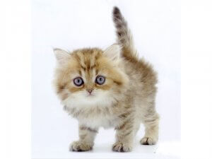 犬猫生態図鑑 チンチラ1 | Fanimal(ファニマル)