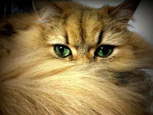 犬猫生態図鑑 チンチラ3 | Fanimal(ファニマル)