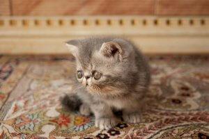 犬猫生態図鑑 エキゾチックショートヘア2 | Fanimal(ファニマル)