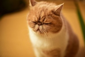 犬猫生態図鑑 エキゾチックショートヘア1 | Fanimal(ファニマル)