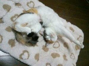 猫のフィラリア症3 | Fanimal(ファニマル)