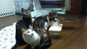 猫の腎アミロイドーシス3 | Fanimal(ファニマル)