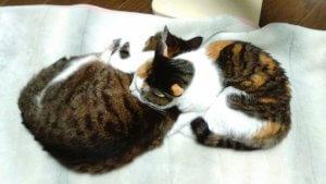猫の腎アミロイドーシス4 | Fanimal(ファニマル)