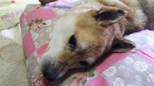 cães com paralisia no sol