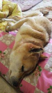 cães paralisados tratamento