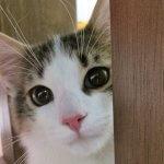 ノルウェージャンフォレストキャットの性格について知ろうー飼い主は見た!犬猫生態図鑑