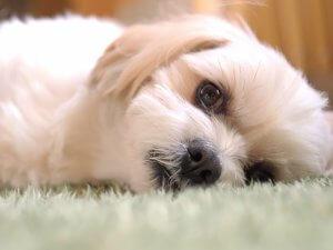 犬のヘルニア1 | Fanimal(ファニマル)