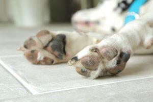 犬の毛はバナナのようにフローリングを滑りやすくさせる!? | Fanimal(ファニマル)