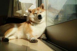 【柴犬だいふく】4 | Fanimal(ファニマル)