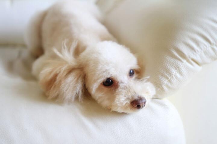白内障 費用 犬 手術