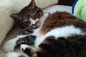 猫伝染性腹膜炎1 | Fanimal(ファニマル)