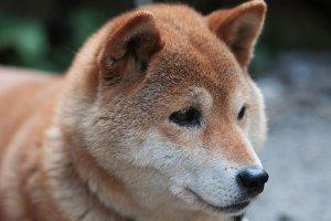 秋田犬4 | Fanimal(ファニマル)