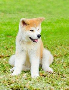 秋田犬3 | Fanimal(ファニマル)