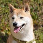 愛犬ジュウザのびっくり事件簿 柴犬あるある①・女子のヤキモチ-犬と好奇心を連れてゆく
