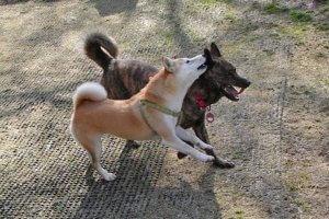 ジュウザ事件簿 柴犬あるある①1 | Fanimal(ファニマル)