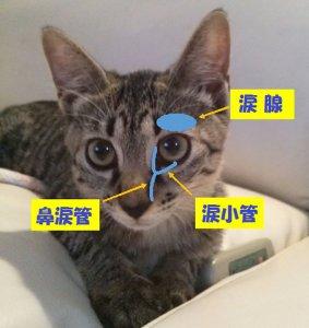 猫の流涙症1 | Fanimal(ファニマル)