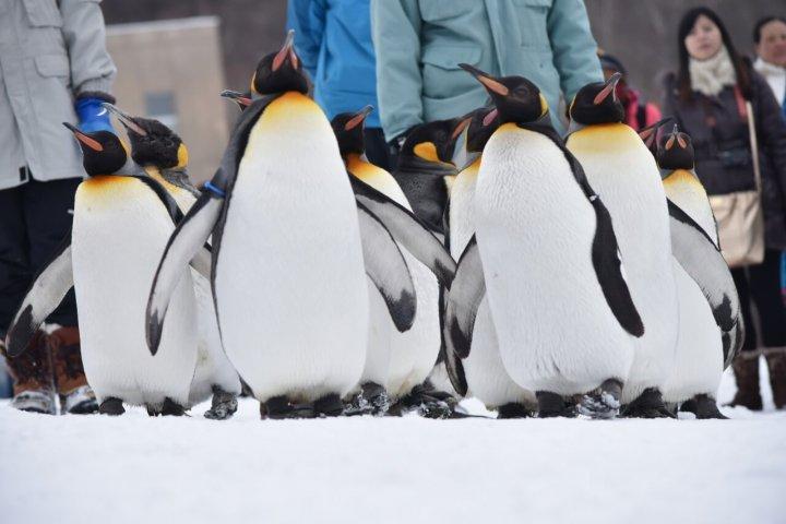 旭山動物園 ペンギンのパレード