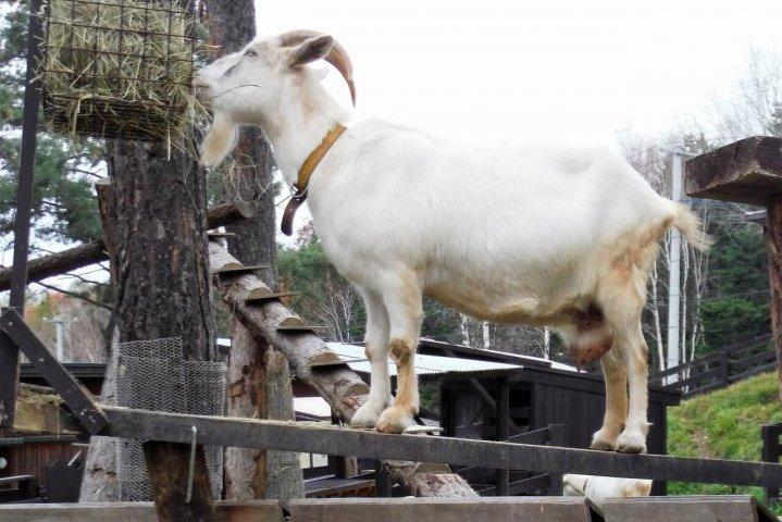 旭山動物園 ヤギ