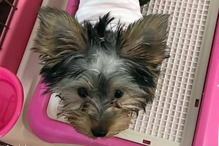 ヨーキーの子犬 | Fanimal(ファニマル)