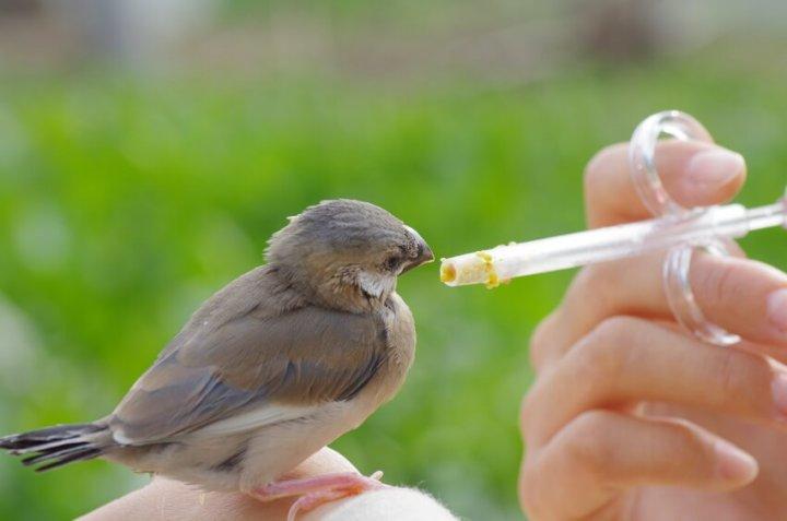 文鳥の餌やり