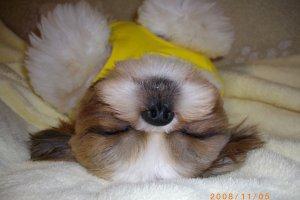 よく寝るシーズー