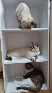 カラーボックスの猫たち