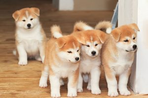 日本犬の小犬たち