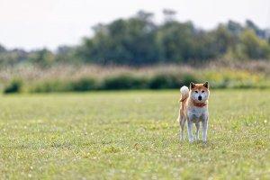草原の日本犬