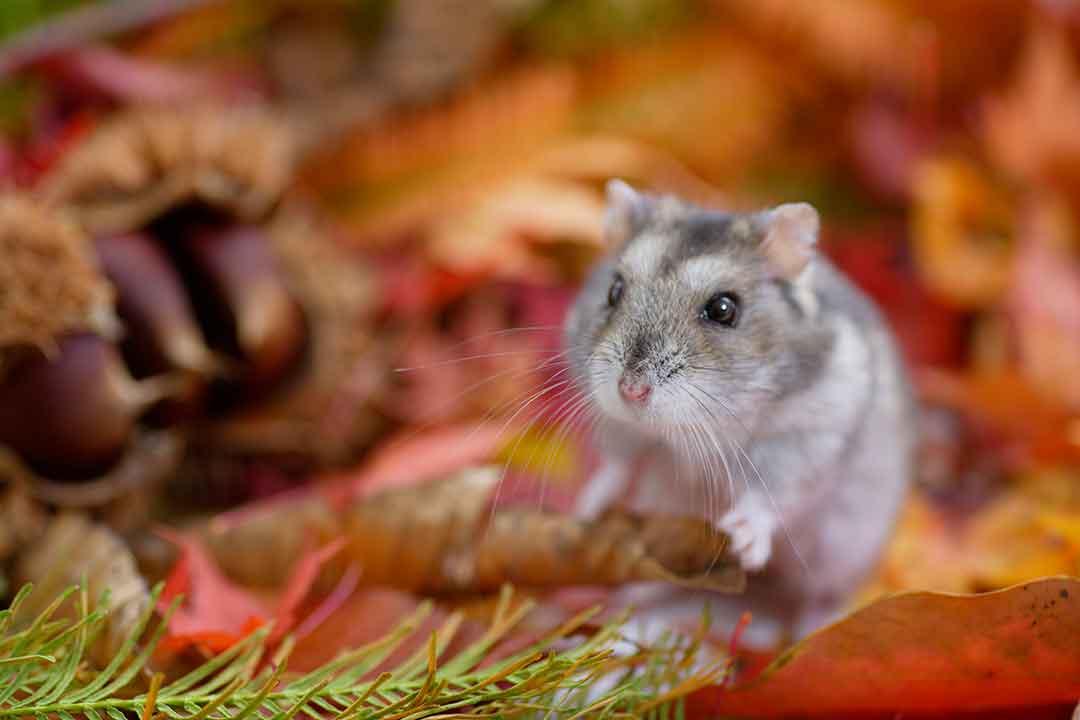 チャイニーズハムスター | Chinese Hamster