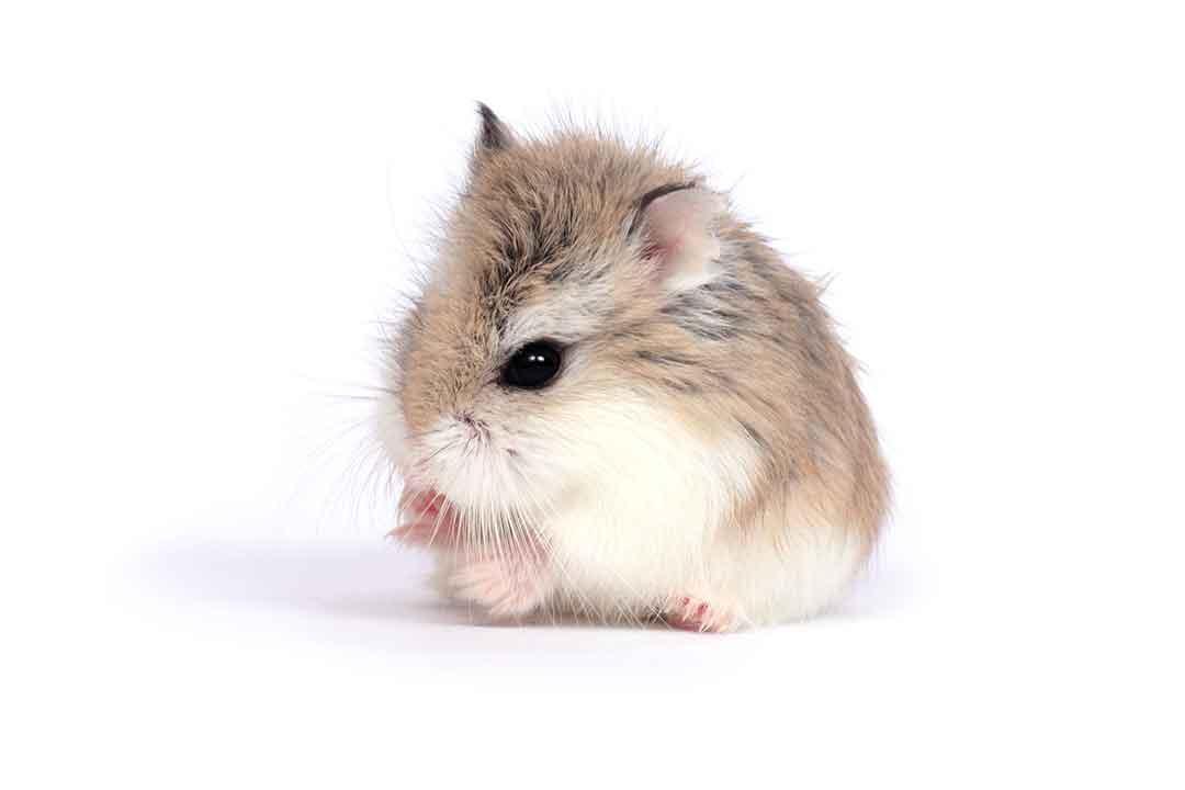 ロボフスキーハムスター | Roborovski Hamster