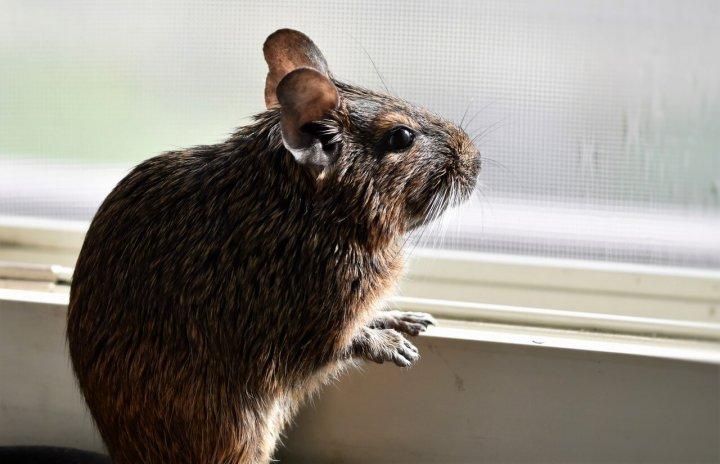 窓の外を見るデグー