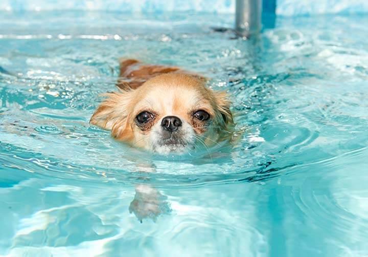 プールで泳ぐチワワ