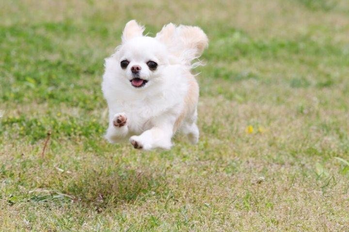 白い走る犬